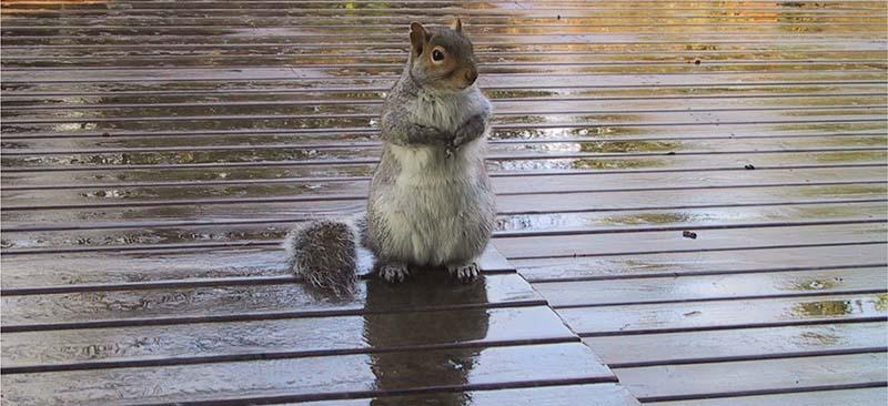 squirrel on custom backyard deck